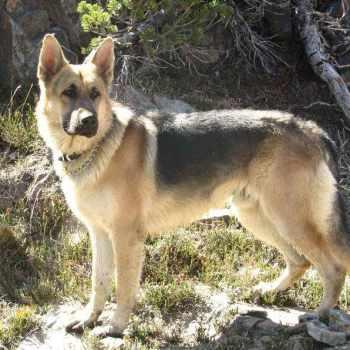 German Shepherd Puppies For Sale In Northern California