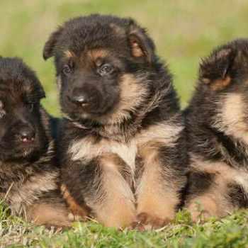 German Shepherd Puppies For Sale In Phoenix Az