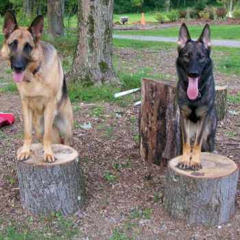 German Shepherd Puppies For Sale In Pittsburgh