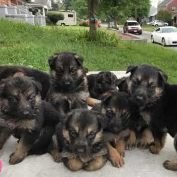 German Shepherd Puppies For Sale In Roanoke Va