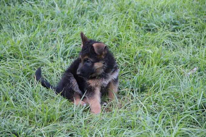 German Shepherd Puppies For Sale In Savannah Ga