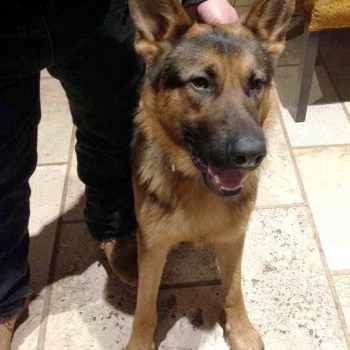 German Shepherd Puppies For Sale In South Jersey