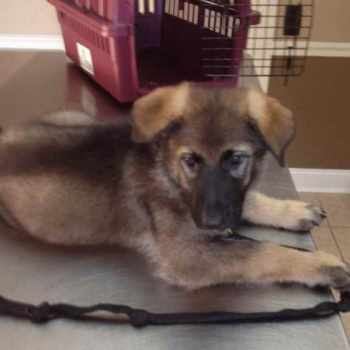 German Shepherd Puppies For Sale In Tampa