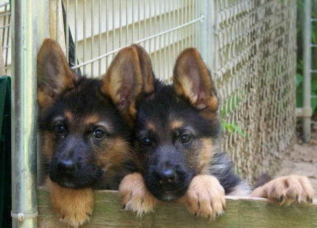 German Shepherd Puppies For Sale In Vt