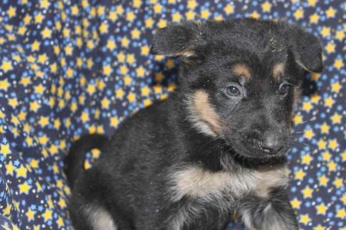 German Shepherd Puppies For Sale In York Pa