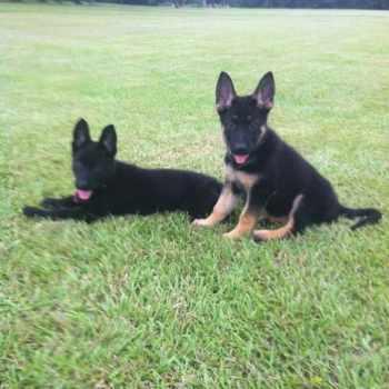 German Shepherd Puppies For Sale Louisiana