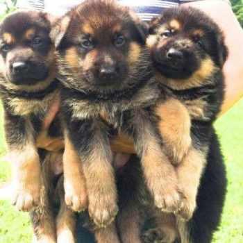German Shepherd Puppies For Sale New York