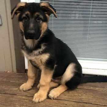 German Shepherd Puppies For Sale Nj