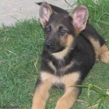 German Shepherd Puppies For Sale Sacramento