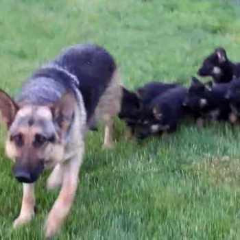 German Shepherd Puppies Georgia