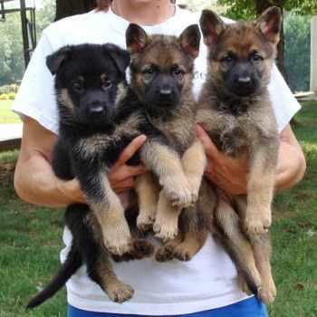 German Shepherd Puppies In Charlotte Nc