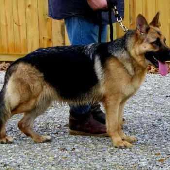 German Shepherd Puppies In Ms