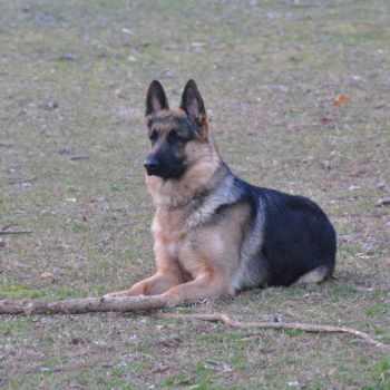 German Shepherd Puppies In Va