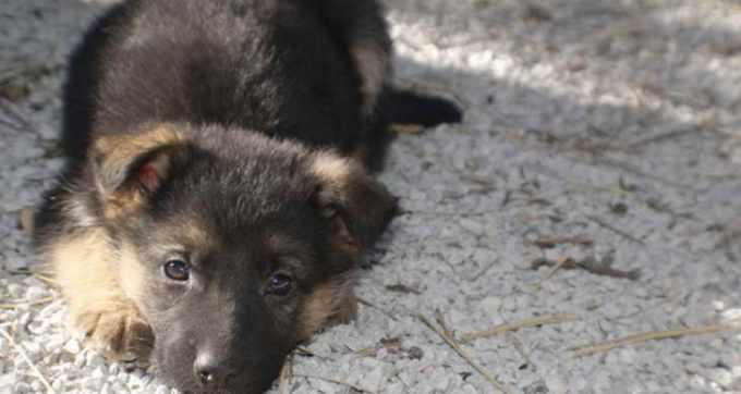 German Shepherd Puppies Kansas City