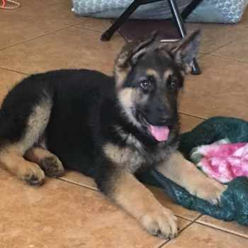 German Shepherd Puppies Mn Craigslist