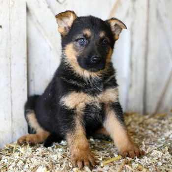 German Shepherd Puppies Nc Craigslist