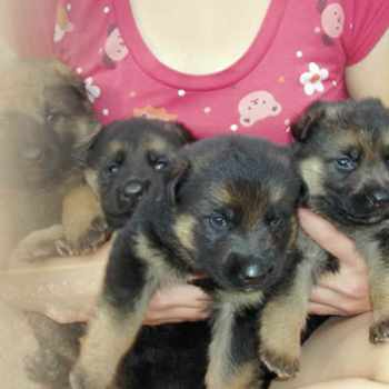 German Shepherd Puppies Nc
