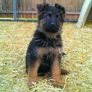 German Shepherd Puppies Okc
