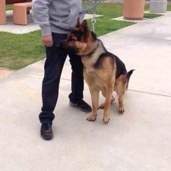 German Shepherd Puppies Orange County
