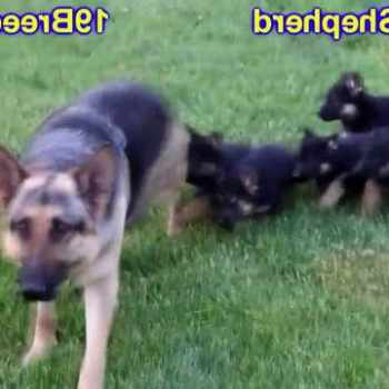 German Shepherd Puppies Rockford Il