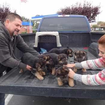 German Shepherd Puppies Sacramento