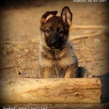 German Shepherd Puppies Southern California