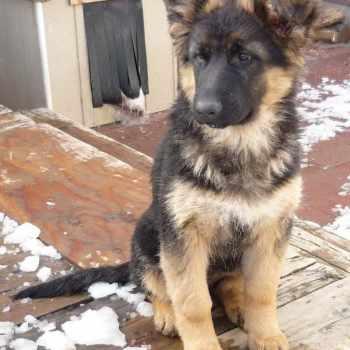 German Shepherd Puppies Spokane