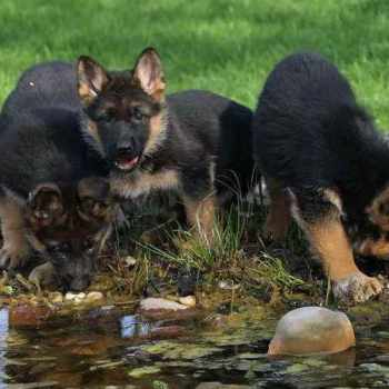 German Shepherd Puppies Tucson