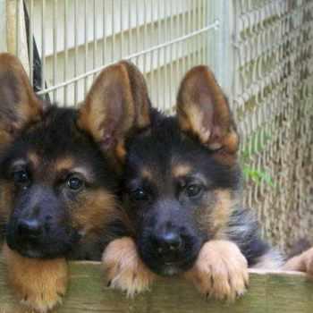 German Shepherd Puppies Vt