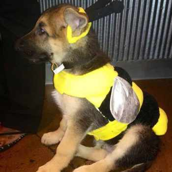 German Shepherd Puppy Clothes
