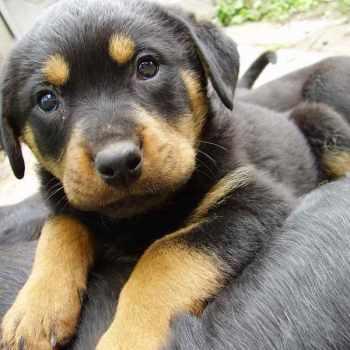 German Shepherd Puppy Mix