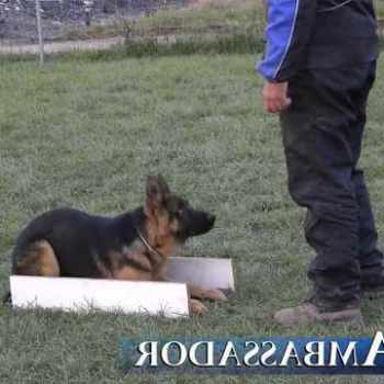 German Shepherd Puppy Obedience Training