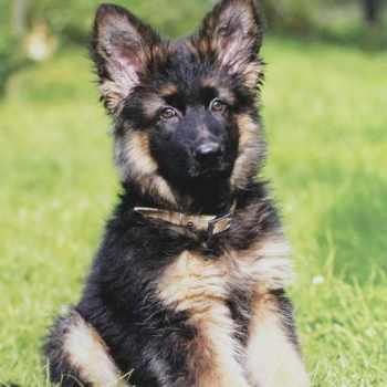 German Shepherd Pups For Adoption