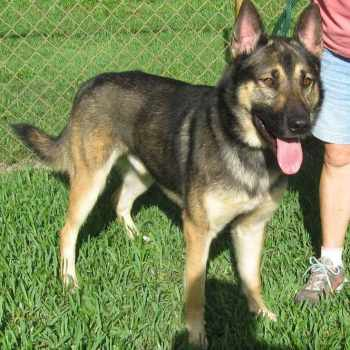 German Shepherd Rescue Florida Tampa