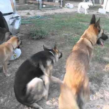 German Shepherd Rescue Florida