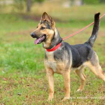 German Shepherd Rescue Ga