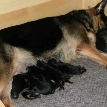 German Shepherd Rescue In Ky