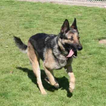 German Shepherd Rescue Modesto Ca
