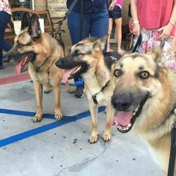 German Shepherd Rescue Orange County