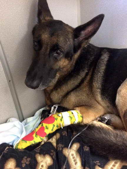 German Shepherd Rescue Orlando Florida