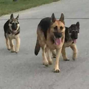 German Shepherd Rescue Texas