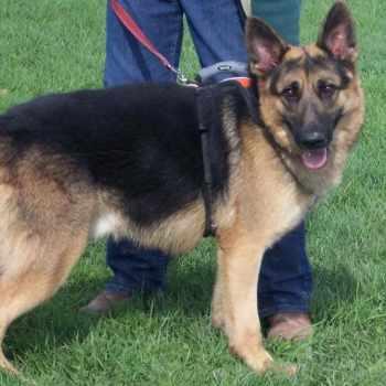 German Shepherd Rescue Tully Ny