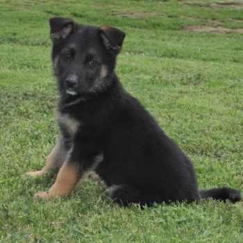 German Shepherd Rescue Tulsa
