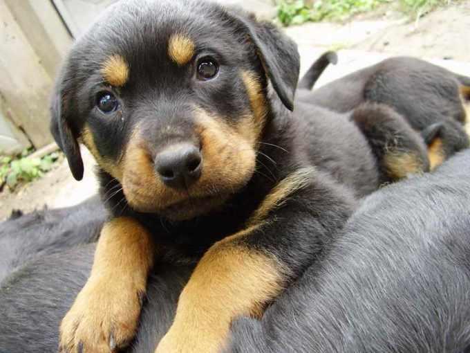 German Shepherd Rottweiler Mix Puppies