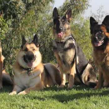 German Shepherd Safe Haven