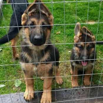German Shepherd Service Dog For Sale