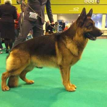 German Shepherd Show Dog