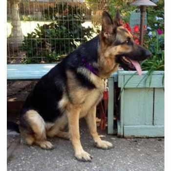 German Shepherd To Adopt