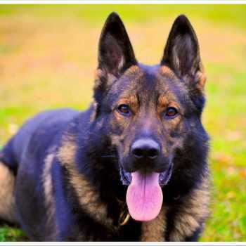 German Shepherd Watch Dogs