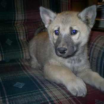 German Shepherd Wolf Hybrid Puppies For Sale